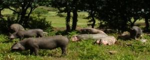 Porco Celta de Galicia