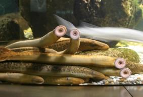 comer-lamprea-en-galicia